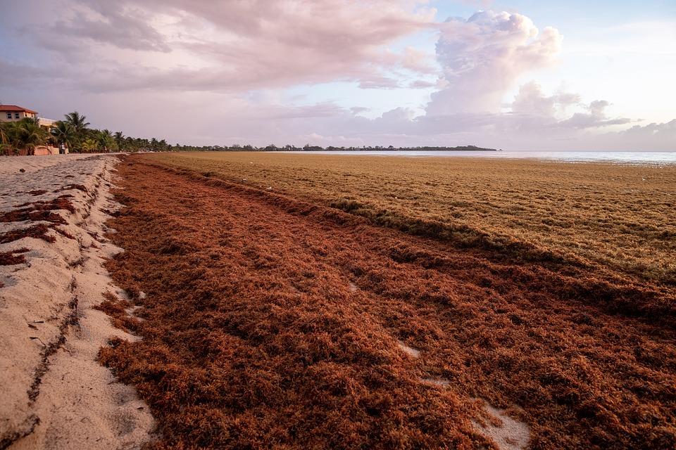 The Atlantic Sargassum Belt