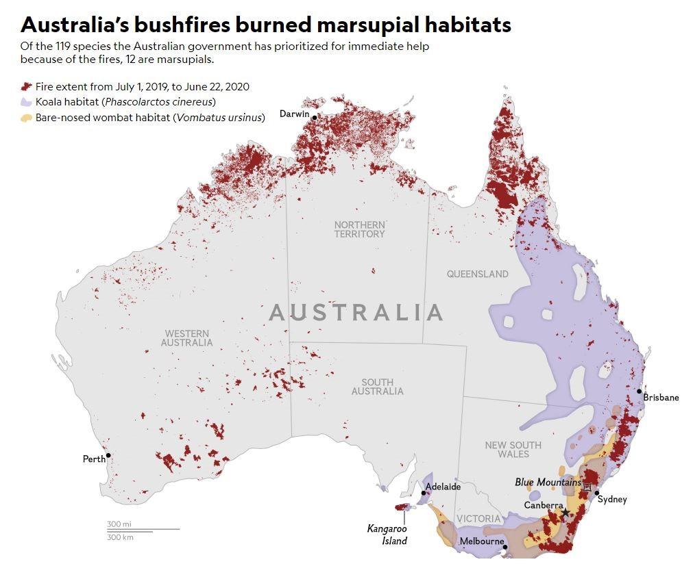 Marsupials koalas and wombats loss of habitat