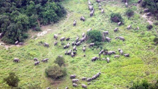 Elephants Return to Congo National Park in Unprecedented Numbers