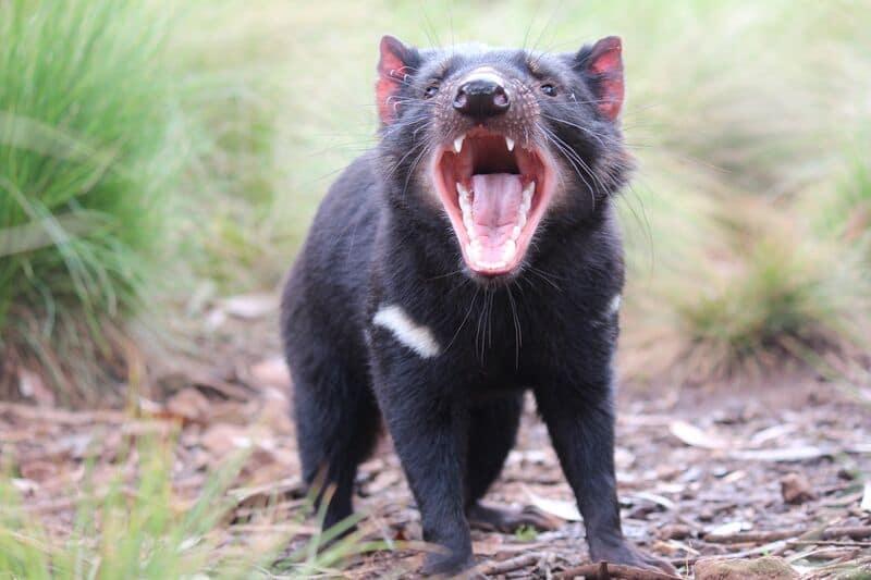 First Tasmanian Devil Joeys Born on Mainland Australia in the Wild in 3 000 Years