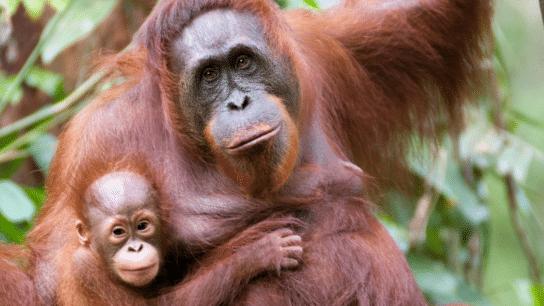 10 Fascinating Facts about Orangutans | International Orangutan Day